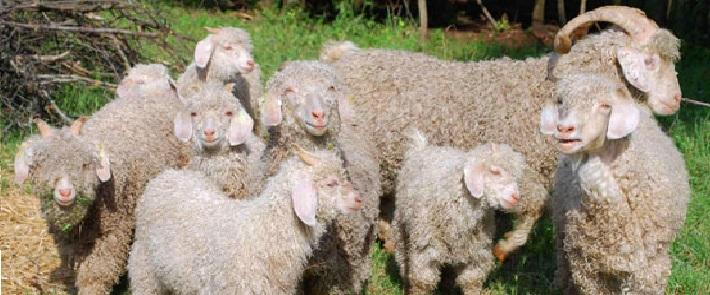 goats-mohair