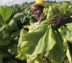 agriculture. tobacco
