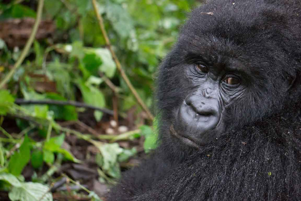 Mountain Gorilla (Humba family). :Mountain Gorilla (Humba family) – Virunga National Park (24)