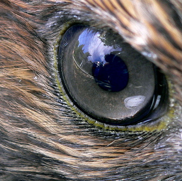 Hawk eye. Source: Wikimedia Commons