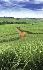 Sugar cane – source of bagasse that is used to generate electricity